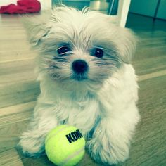 First day in new home - happy Luna playing with mini tennis ball