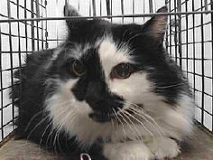 View Our Animals. 18-13396 Downey,CA. Female DLH cat. Arrived 01/06/18.