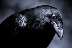 Os corvos podem reter o segredo para a compreensão da inteligência de formas de vida extraterrestre