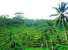 Image of stunning rice terraces near Ubud, Bali