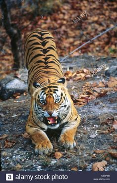 Image result for tiger pounce