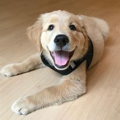 So happy!! #LabradorRetriever
