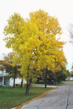 Click to view full-size photo of Green Ash (Fraxinus pennsylvanica) at Connon Nurseries CBV