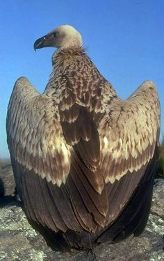 The Cape Griffon or Cape Vulture is an Old World vulture in the family which also includes eagles, buzzards and hawks. It is endemic to southern Africa, and is found mainly in South Africa, Lesotho, Botswana and parts of northern Namibia. It nests on cliffs and lays one egg per year. This large vulture is dark brown except for the pale wing coverts. The average length is about 38–45 in with a wingspan of 7.4–8.5 ft and a body weight of 15–24 lb. They are on average the largest raptor in…