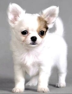 Just cuddle this lol bug! Chihuahua Love, Chihuahua Puppies, White Chihuahua, Chihuahuas, Cute Dogs And Puppies, Baby Dogs, Doggies, Beautiful Dogs, Animals Beautiful