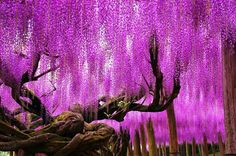 Mail2Day: 100 Years Old | Beautiful Wisteria in Japan