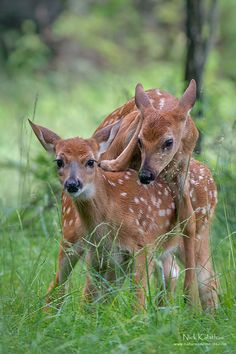 Whitetail Siblings by wildlife photographer Nick Kalathas. Two cute spotted whitetail deer fawns. Forest Animals, Nature Animals, Animals And Pets, Animals Planet, Wild Animals, Deer Pictures, Animal Pictures, Beautiful Creatures, Animals Beautiful