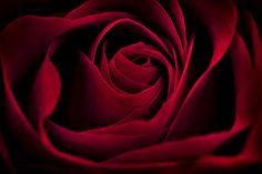 Photo Red Rose by Hank Klassen on 500px
