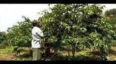 growing coffee tree - YouTube