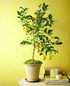 citronnier en pot intérieur