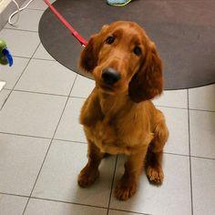 Phin, who is silkysoft.  #dogsofinstagram #puppiesofinstagram #irishsetter #bigred #gooddog #ozanimalhospital #lincolnpark #chicago