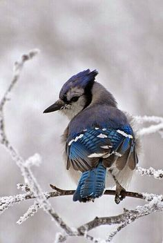 A blue jay in the US winter. Photograph: Richard Crossley