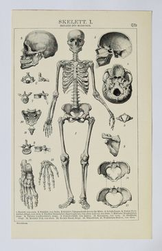1903 Skeletons, an original antique print from 1903, a lithography presenting skeletons of human, crocodile, turtle, frog.