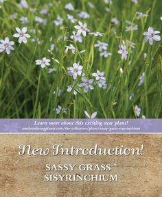 Searching for a great border or groundcover? Look no further than Sassy Grass™ Sisyrinchium.