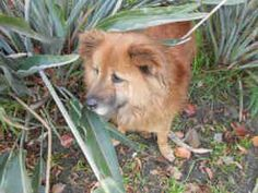 A1366869 is an adoptable Chow Chow Dog in Los Angeles, CA.  ...