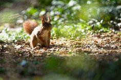Un écureuil, Red Squirrel by Zed The Dragon, via Flickr