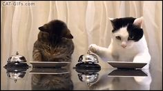 CAT GIF • Waiter Please! When 2 clever and hungry Cats know how to ring the bell to order their treats