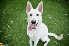 Sheba is an adoptable Shepherd searching for a forever family near Clearwater, FL. Use Petfinder to find adoptable pets in your area.