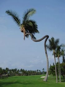 Amazing Coconut Tree in Hawaii ! Go home tree.you're drunk! Weird Trees, Unique Trees, Nature Tree, Tree Forest, Tree Art, Amazing Nature, Trees To Plant, Palm Trees, Nature Photography