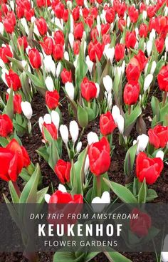 Amsterdam travel - don't miss the Keukenhof tulip gardens if you visit the Netherlands. Keukenhof is a top day trip from Amsterdam in Spring when the tulips are in full bloom. Click for more info on visiting the Keukenhof flower gardens #tulips #holland via @untoldmorsels