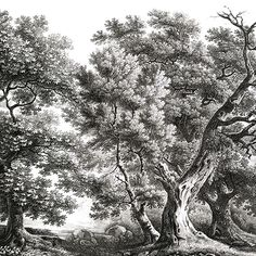Landscape prints - Old Oak - Black and White - 432x300 - 5 widths of 86,4cm - ultra matt