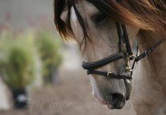 equine photography - Lusitano