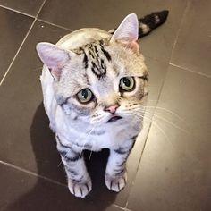 Luhu le chat le plus triste du net  2Tout2Rien
