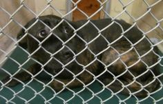 BESSIE >>>FOUND IN CANTON, OHIO...NOW ADOPTABLE!! Meet 26  Bessie/SPONSORED a Petfinder adoptable Mountain Cur Dog | Canton, OH | A few days later, and Bessie already looks much more relaxed and happier.  She's a gorgeous girl,...