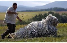 The 42 Strangest Animals Ever That You CANNOT Stop Looking At (Slide #4) - StarsBergamasco ShepherdThese huge doggies have natural dreadlocks.