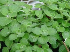 Cuban Oregano Seeds,AKA (Broad Leaf Thyme) Spanish thyme,Mexican Mint,Hung chanh. Organic herb seeds !