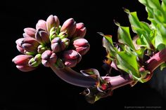 Photos of endemic and rare flowers of the Atacama desert in north Chile. Every few years after a rainy winter Desierto florido or desert in bloom occurs.