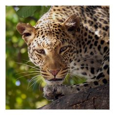 #stylish - #leopard animal travel art photography poster