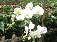 Cara Mudah Menanam dan Budidaya Bunga Anggrek