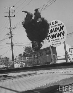 Trampolining monkey, 1960