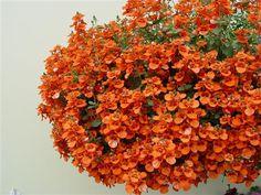 Image of 'diascia dala oran flirtation orange flirtation series ppaf'
