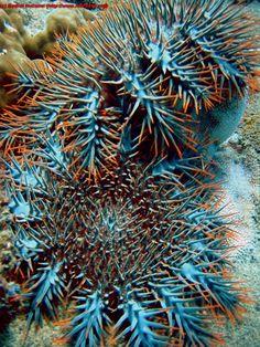 Crown of Thorns Starfish, Acanthaster planci