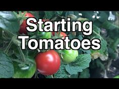 Starting Tomato Seedlings - Getting a head start on your Heirloom Open Pollinated Seedlings Tomato Seedlings, Tomato Plants, Edible Garden, Easy Garden, Garden Ideas, Tomato Cultivation, Tomato Support, Verticle Garden, Lucky Bamboo Plants