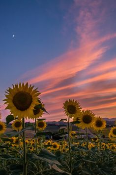 have sunset in sunflower mural?