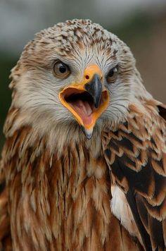 (Red) Kite (Rot) Milan 鸢 Plinius Exotic Birds, Colorful Birds, Owl Bird, Pet Birds, Milan Vogel, Beautiful Birds, Animals Beautiful, Eagles, Rapace Diurne