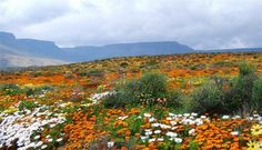 west coast flower tour in cape town south africa book Champs, South Afrika, Destinations, Cape Town South Africa, Abstract Landscape, Landscape Sketch, Landscape Paintings, West Coast, Wild Flowers