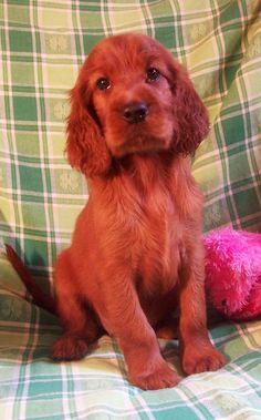 Irish Setter puppy.