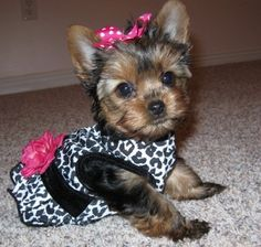 Bonnie's first birthday: I just recently had a dog party for Bonnie. She didn't like the outfits that I bought her so I thought about making one.   I made her a cheetah print,