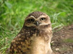 Hispaniolan Burrowing Owl