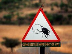 Die kleinen Pillendreher stehen unter Naturschutz. Cape Vidal