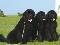 Newfoundlands  Best dogs ever...oh how we miss our Maddie!