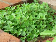 Origanum vulgare - Wild Marjoram. Rich in fiber, minerals, antioxidants, vitamin K. Mild tea has a soothing effect and aids restful sleep. Easy to grow but can be invasive. Plant repels ants.