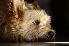 Cairn Terriers - A Big Little Dog