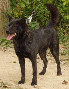 Kai Ken: looks just like daisy German Longhaired Pointer, Kai Ken, Greenland Dog, Maremma Sheepdog, Norfolk Terrier, Kinds Of Dogs, Mans Best Friend, Beautiful Creatures, Animal Kingdom