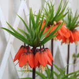 Fritillaria Bulbs, Unusual SpringBulbs