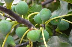 Here are some of the fasting growing fruit trees. Fruit trees that produce fast. Fruit trees that fruit in a year or less. Citrus Trees, Peach Trees, Fast Growing Fruit Trees, Indoor Fig Trees, Fruit Trees In Containers, Fruit Fast, Dwarf Fruit Trees, Apricot Tree, Banana Fruit